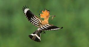 burung-hud-hud